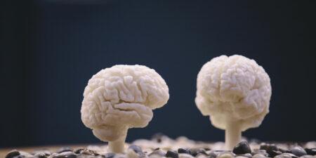 Modeller av två hjärnor.