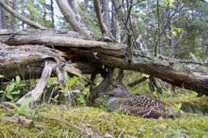 Female eider sits on eggs close by a fallen tree