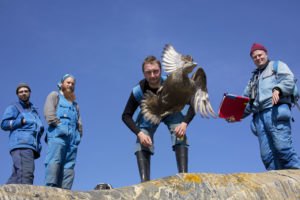 Four men release a ringed eider female