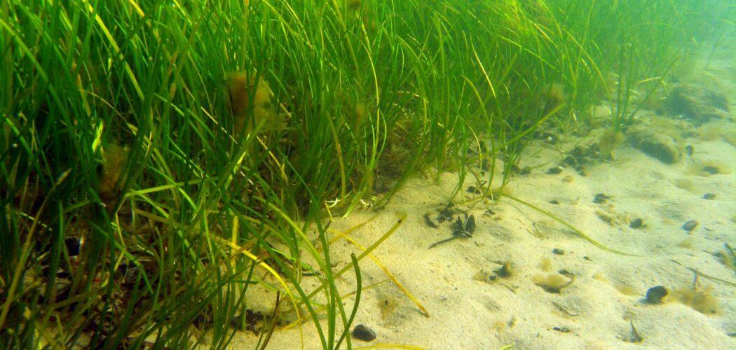 Sjögräs och sandig havsbotten fotograferat under ytan.