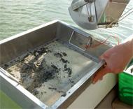 Man har tömt ett bottenprov taget med en Ekman-bottenhuggare i ett såll för att sålla bort lera