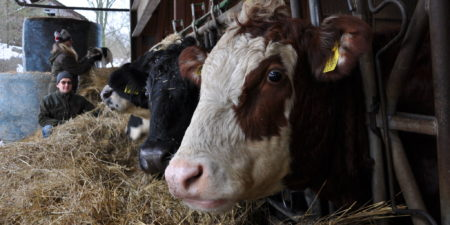 Kor som äter hö