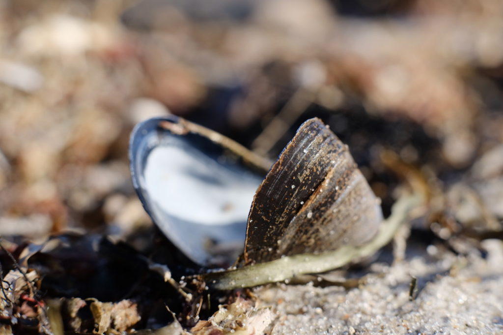 Blue mussel.