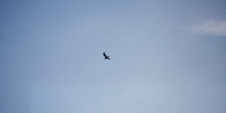 Fågel som flyger.