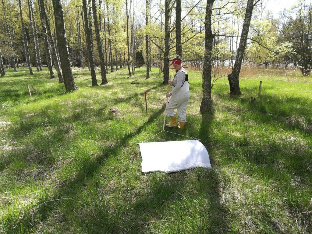Insamling av fästingprover. Kvinna går på fält med högt gräs och drar en vit håv längs marken.
