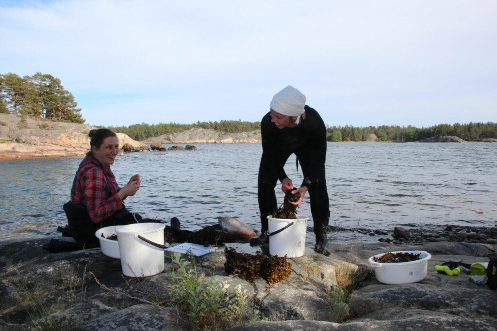 Forskarna Tiina Salo och Henna Rinne med blåstångsruskor på en strandklippa