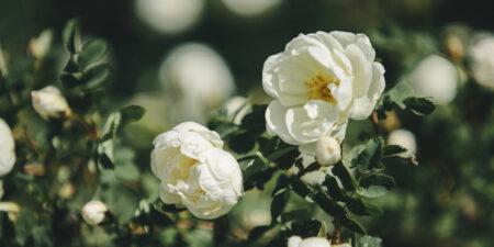 Två vita rosor och gröna blad i bakgrunden.