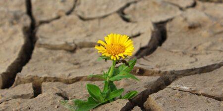 En gul blomma som växer trots torr och lerig jord.