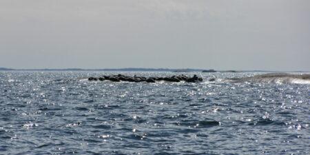 Gråsälar ligger och solar på en klippa ute i havet.