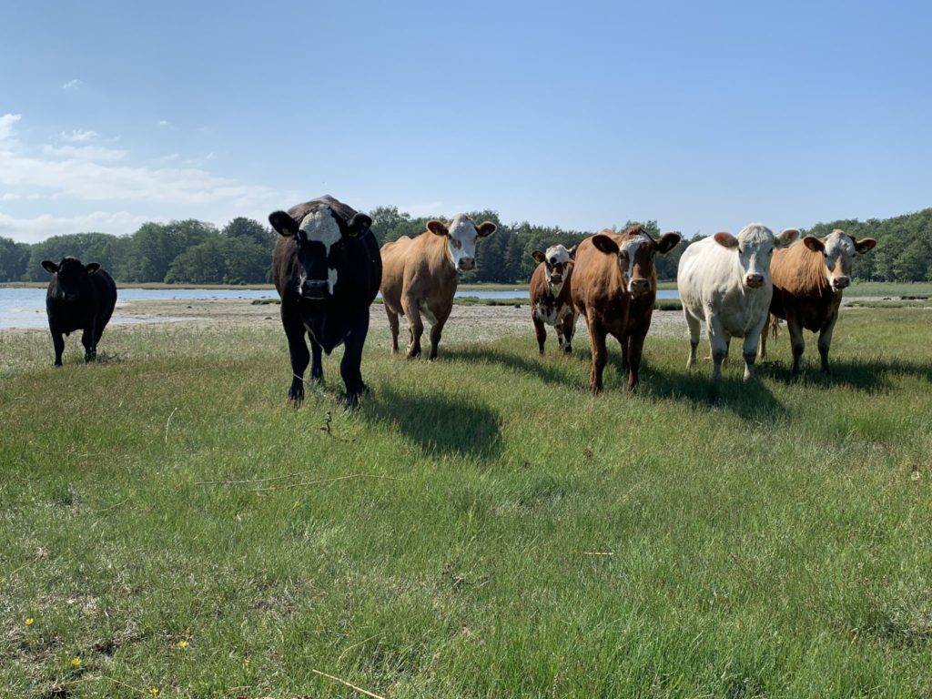 Sju kor står på en strandäng och ser in i kameran.